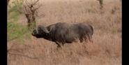 Bronyx Zoo TV Series Buffalo
