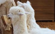 Evan Almighty Alpacas