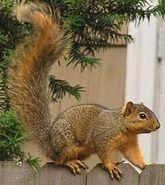 Fox Squirrel as Scrat
