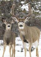 Male and female mule deer