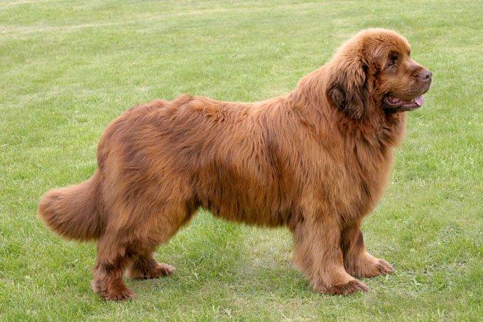 Newfoundland (dog breed)