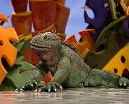 Nico the Marine Iguana