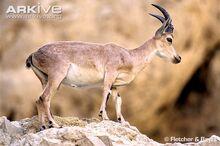 Nubian-ibex-side-view.jpg