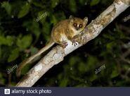 Pygmy mouse lemur (Microcebus myoxinus)