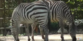 Riverbanks Zoo Zebras
