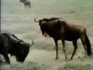 Sesame Street Wildebeests