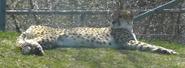 Toronto Zoo Cheetah