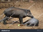 Visayan Warty Boar and Sow
