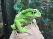 Waxy Monkey Tree Frog