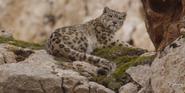 BIC Snow Leopard