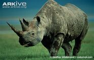 Black-rhinoceros-