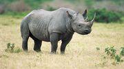 Black Rhino (Diceros bicornis).jpg