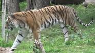 Bronyx Zoo Tiger