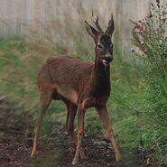 Deer, Roe