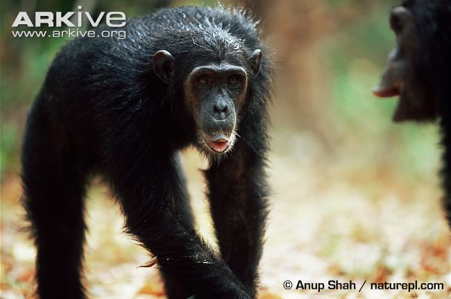 Eastern Chimpanzee
