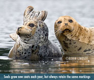 Harbor Seal Bull and Cow