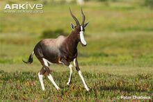 Male-bontebok-chasing-other-males-out-of-his-territory.jpg