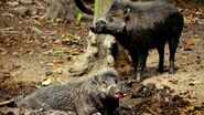 Male and female Visayan warty pigs