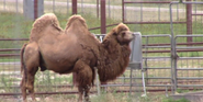 Natural Bridge Wildlife Ranch Camel