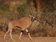 Oryx, Beisa
