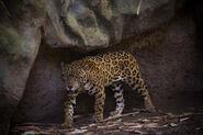 Panthera onca goldmani