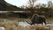Rhinoceros, Wooly