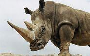 Rhinoceros Horns