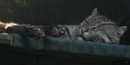 Smithsonian Zoo Fishing Cat