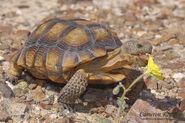 Tortoise, Desert
