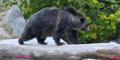 Utah Hoogle Zoo Grizzly