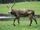 Yarkand Deer