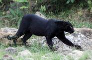 Asiatic Black Leopard