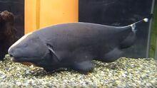 Black-Ghost-Knifefish.jpg