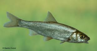 Common Dace