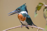 Kingfisher, Amazon.jpg