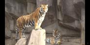 Milwaukee County Zoo Tigers