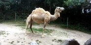 Rodger Williams Park Zoo Camel