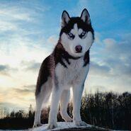 Siberian Husky (V2)