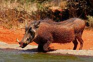 Southern warthog (Phacochoerus africanus sundevallii) male