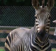 Utica Zoo Zebra