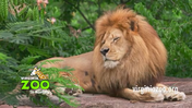 Virginia Zoo Lion