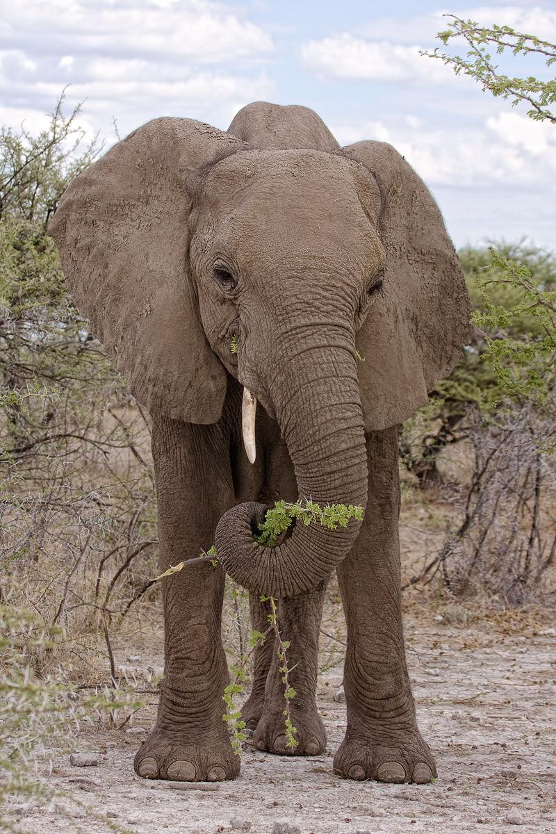 Young Female Elephant
