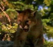 AFO Cougar