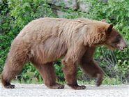 Bear, Cinnamon