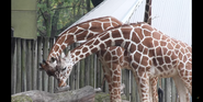 Brookfield Zoo Giraffes