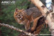 Grey-fox-climbing-tree