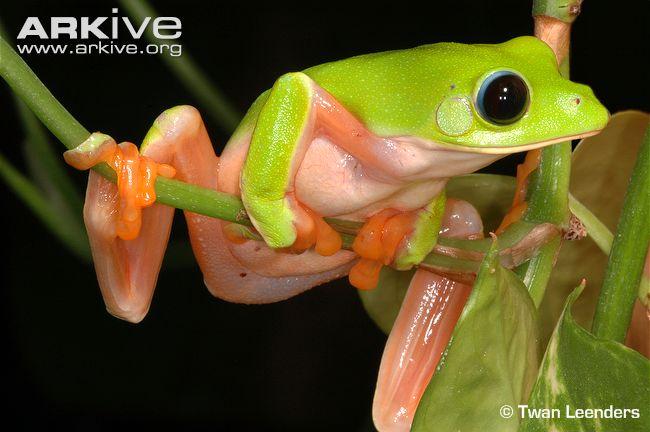 Morelet's Tree Frog