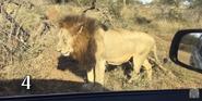 KNP Lion