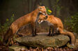 Male and Female Red Foxes