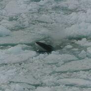 Minke whale in ross sea